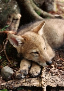coyotepup40001