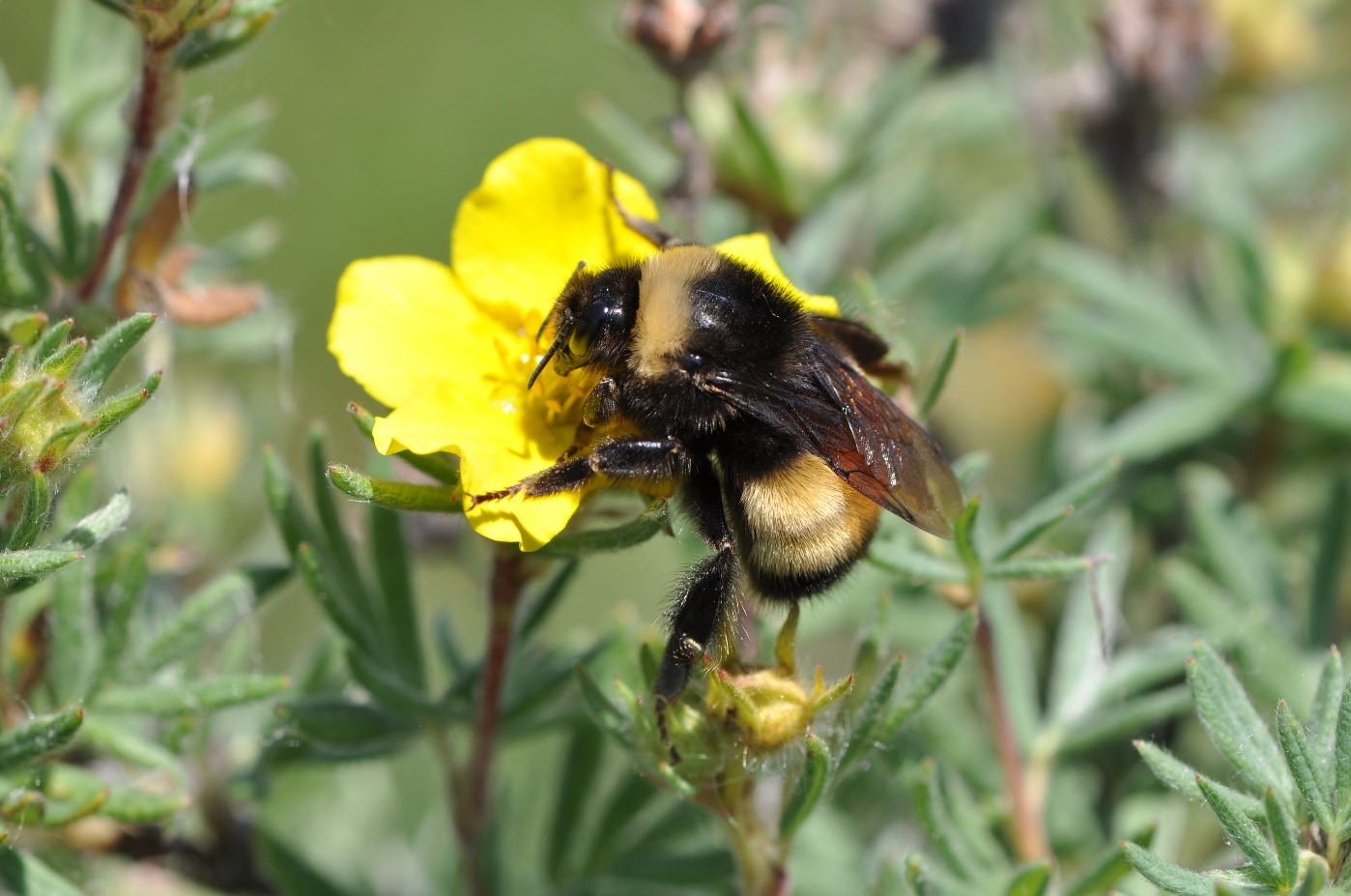 CBC: Albertans snap photos of bumblebees for North America-wide study