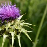 Knotted Thistle